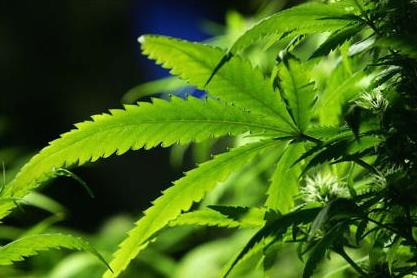 Gov't to limit medical pot use in public?
