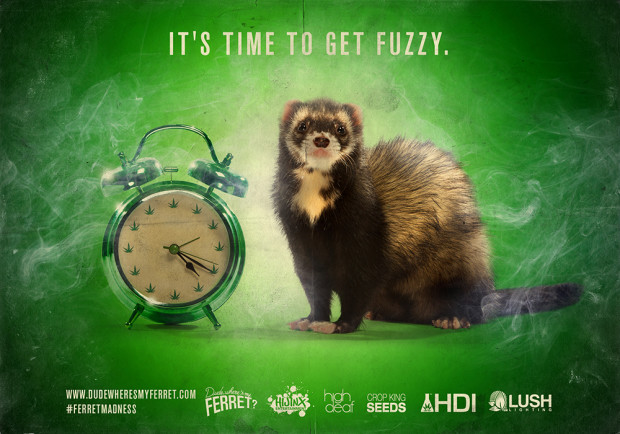 time to get fuzzy ferret