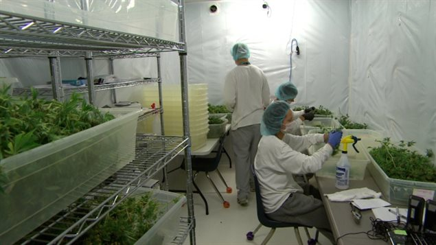 Employees work in a drying room at Delta 9, a medical marijuana growing facility in Winnipeg. (CBC)