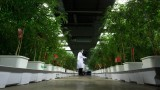 Cannabis genetics lawsuit for takeover