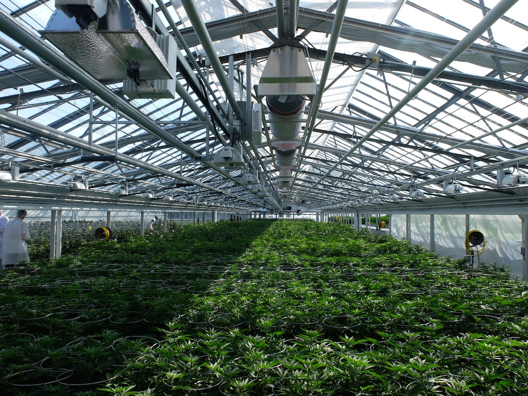 1 of 3 ~7,000 sq ft greenhouses currently in production at Aphria